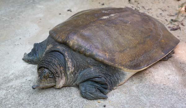 Tartaruga Dal Guscio Molle.Trionichidi