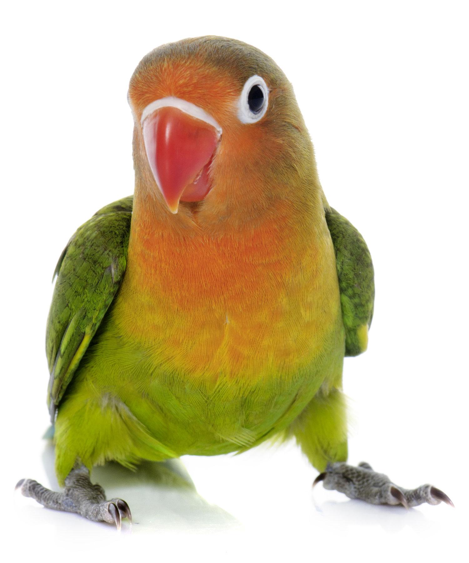 Come allevare i pappagalli Inseparabili | Guida Pagine Web