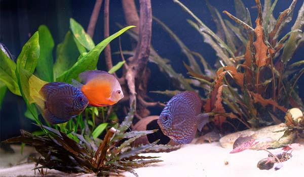 Pesci for Pesci d acqua dolce acquario